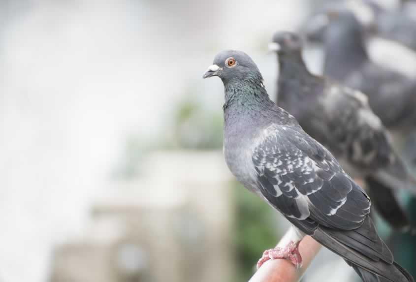 Tauben und Vögel