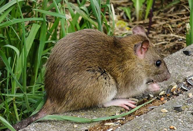 Mäuse und Ratten