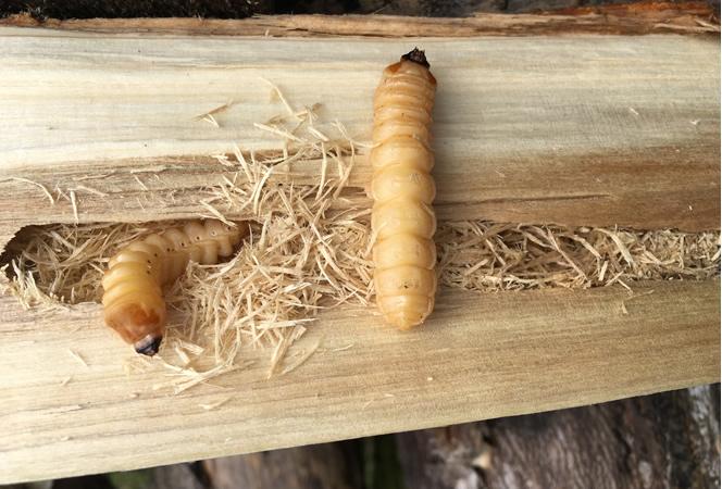 Käfer und Holzwürmer